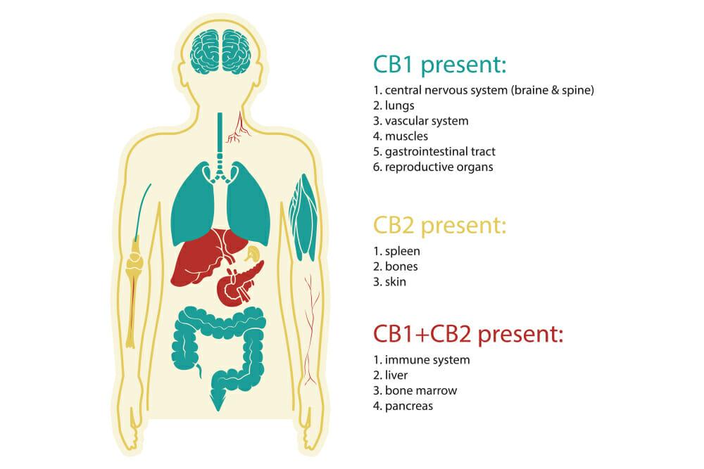 CBD in the human body