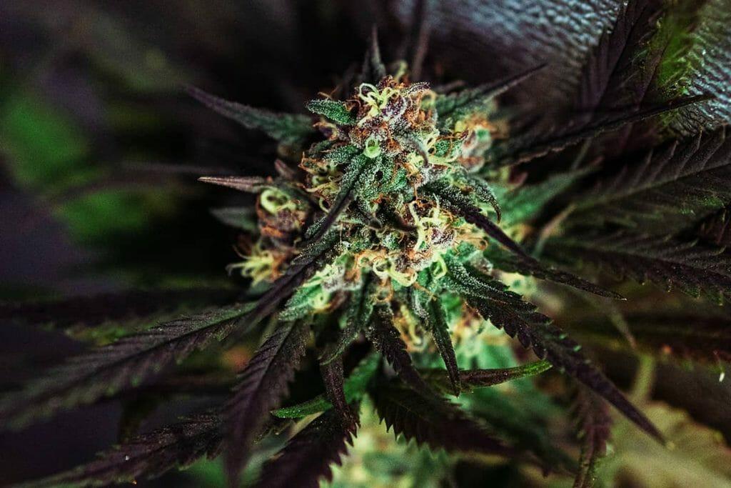 High CBD flower